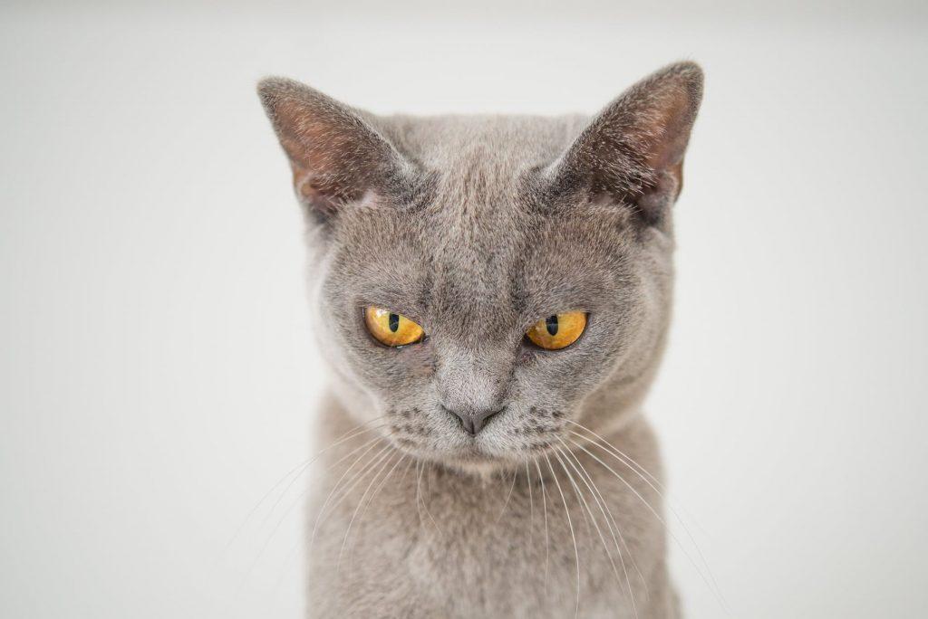 closeup photo of gray cat